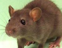 Mouse, Wildlife Removal San Antonio and Austin TX